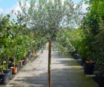 Olijf op stam (Olea europaea)