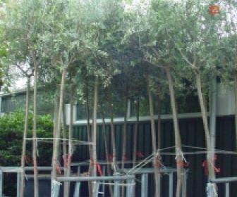 Olijfboom (Olea europaea )