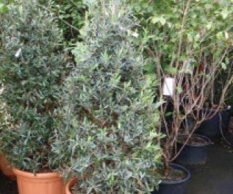 Olijf (Olea europaea 'Cipressino')