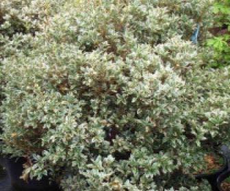 Schijnhulst (Osmanthus heterophyllus 'Variegatus')