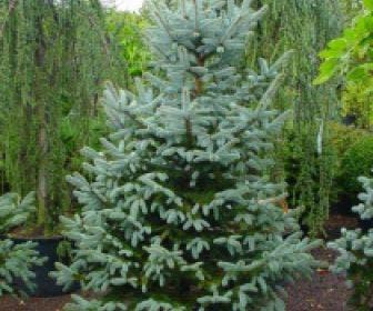 Amerikaanse blauwe spar (Picea pungens 'Fat Albert')