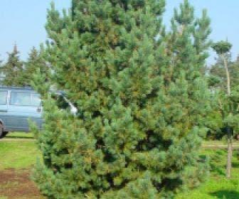 Alpenden (Pinus cembra)