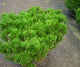 Bergden (Pinus mugo  mughus)