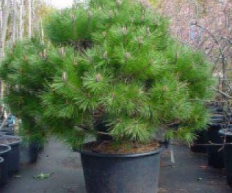 Bolvormige Den (Pinus nigra Brepo)