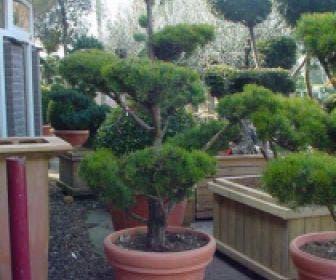 Grove Den als bonsai (Pinus sylvestris)