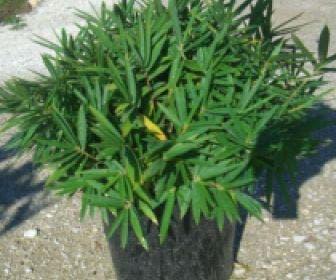 Bamboe (Pleioblastus pygmaeus)
