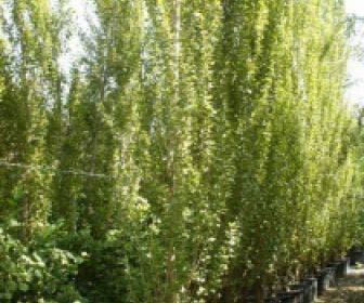 Italiaanse populier (Populus nigra 'Italica')