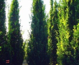 Zomereik als zuilboom (Quercus robur 'Fastigiata')