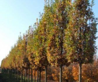 Zomereik als zuilboom  (Quercus robur 'Fastigiata Koster')