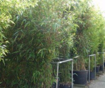 Bamboe (Semiarundinaria fastuosa)
