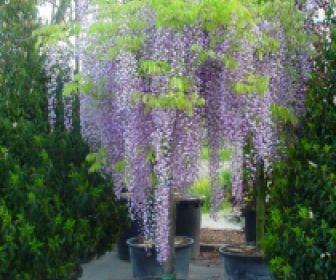 Blauwe regen als boom (Wisteria sinensis 'Prolific')