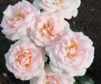 Grootbloemige roos (Rosa 'A whiter shade of pale')