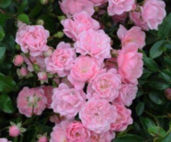 Bodembedekkende roos (Rosa 'The Fairy')