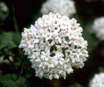 Sneeuwbal (Viburnum carlcephalum)