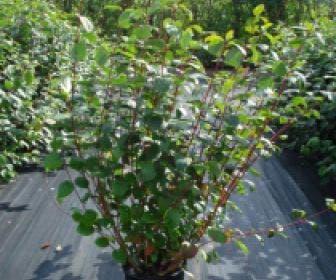 Kornoelje (Cornus alba 'Sibirica')