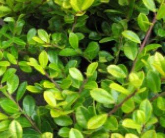 Chinese Hulst (Ilex crenata 'Golden Gem')