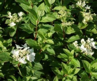 Pluimhortensia (Hydrangea paniculata 'Dart's little Dot')
