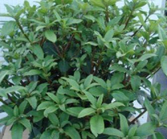 Bosrhododendron (Rhododendron ponticum 'Roseum')