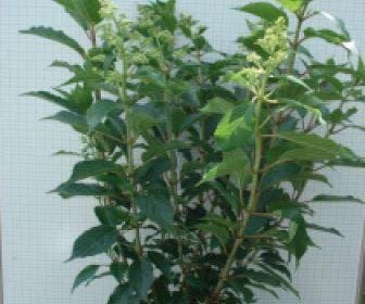 Pluimhortensia (Hydrangea paniculata 'Kyushu')