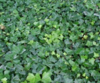Grootbladige Klimop (Hedera hibernica)