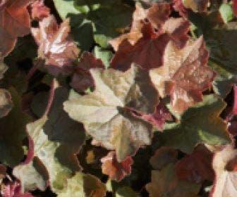 Purperklokje (Heuchera 'Villosa brownie')