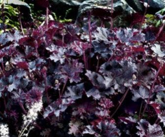 Purperklokje (Heuchera 'Purple Petticoats')
