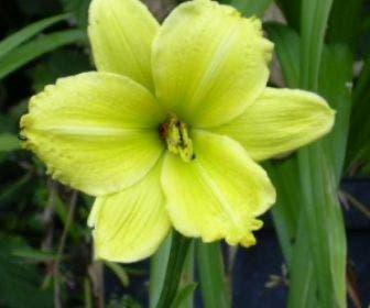Daglelie (Hemerocallis 'Green Flutter')