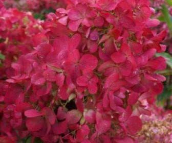 Pluimhortensia  (Hydrangea paniculata 'Diamant Rouge')