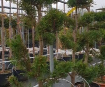 Groene conifeer als bonsai