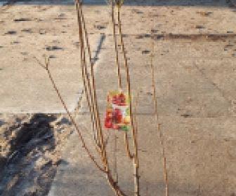 Pruim (Prunus domestica 'Mirabelle Ruby')