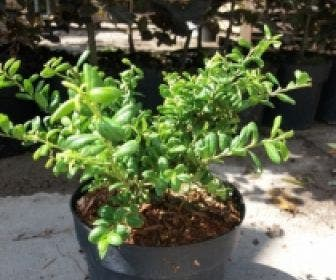 Japanse Hulst (Ilex crenata 'Green Lustre)