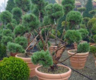 Grove Den als bonsai (Pinus sylvestris 'Watererii')