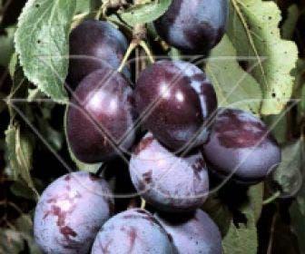Pruimenboom (Prunus domestica 'Kwetsen')
