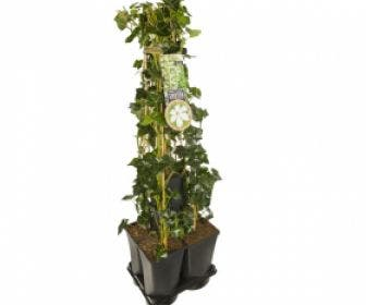 Hedera-Clematis mix haag (Forever Friends)