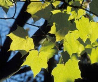 Colchische esdoorn (Acer cappadocicum 'Aureum')