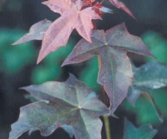 Colchische esdoorn (Acer cappadocicum 'Rubrum')