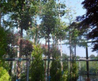 Drietandsesdoorn (Acer buergerianum)