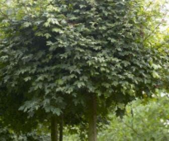 Bolesdoorn (Acer campestre 'Nanum')