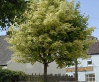 Bonte Esdoorn (Acer platanoides 'Drummondii')