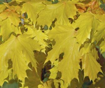 Noorse Esdoorn (Acer platanoides 'Princeton Gold')