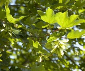 Esdoorn (Acer pseudoplatanus 'Spaethii')