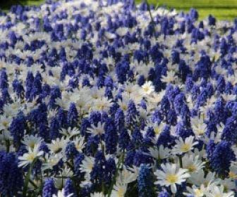 Anemone 'White Splendour' & Muscari 'Blue Magic'