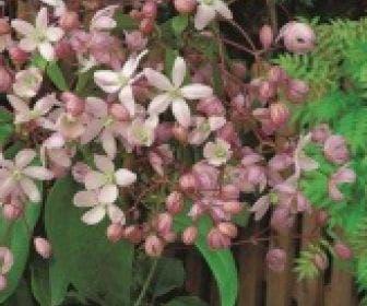 Groenblijvende Clematis (Clematis armandii 'Hendersonii Rubra')