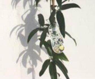 Wintergroene Clematis (Clematis armandii 'Little White Charm')