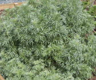 Absint alsem (Artemisia absinthium)