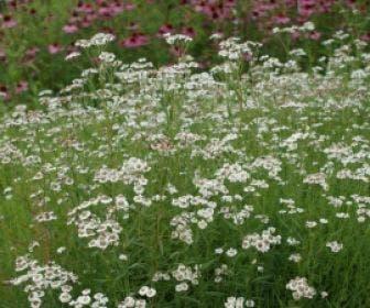 Citroenkruid (Artemisia abrotanum)