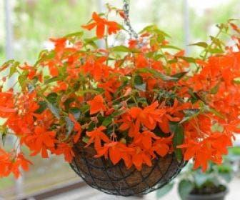 Begonia (Begonia bertinii)