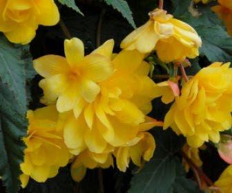 Hangbegonia (Begonia Cascade) geel