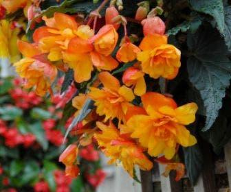 Hangbegonia (Begonia Cascade) oranje