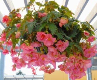 Hangbegonia (Begonia Cascade) roze